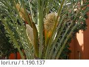 Цветение пальмы. Стоковое фото, фотограф Алексеев Борис / Фотобанк Лори