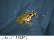 Древесная лягушка в бассейне. Стоковое фото, фотограф Алексей Вялов / Фотобанк Лори
