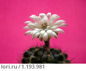 Цветущий кактус. Стоковое фото, фотограф Наталья Василенко / Фотобанк Лори