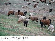 Отара овец в степи. Стоковое фото, фотограф Алёшина Оксана / Фотобанк Лори
