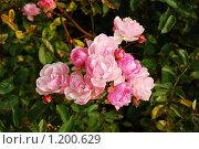 Купить «Розы», фото № 1200629, снято 4 октября 2008 г. (c) Овсяник Анна Владимировна / Фотобанк Лори
