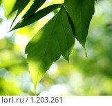 Зеленый лист клена в лучах летнего солнца. Стоковое фото, фотограф Ваганова Марина / Фотобанк Лори