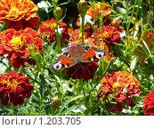 Бархатцы и бабочка. Стоковое фото, фотограф Светлана Власенко / Фотобанк Лори