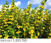 Желтые цветы. Стоковое фото, фотограф Андрей Гагарин / Фотобанк Лори