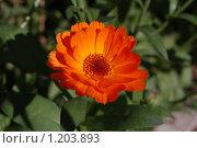 Цветок календулы. Стоковое фото, фотограф Александр Климов / Фотобанк Лори