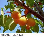 Купить «Солнечные абрикосы», фото № 1207125, снято 28 июня 2008 г. (c) Алёшина Оксана / Фотобанк Лори