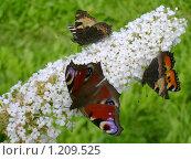 Бабочки на цветах. Стоковое фото, фотограф Смирнов Денис / Фотобанк Лори