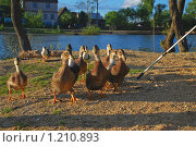 Домашние утки. Стоковое фото, фотограф Алёшина Оксана / Фотобанк Лори