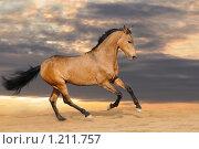 Купить «Жеребец ахалтекинской породы на свободе», фото № 1211757, снято 7 ноября 2009 г. (c) Титаренко Елена / Фотобанк Лори