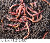 Навозные черви. Стоковое фото, фотограф Михаил Коханчиков / Фотобанк Лори