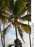 Кокосовые пальмы на фоне неба. Стоковое фото, фотограф Димитрий Сухов / Фотобанк Лори