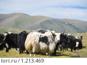 Альпийские яки. Стоковое фото, фотограф hunta / Фотобанк Лори
