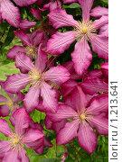 Купить «Крупные цветки клематиса», фото № 1213641, снято 23 мая 2009 г. (c) Александр Куличенко / Фотобанк Лори