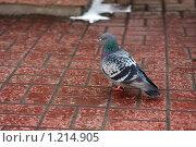 Купить «Голубь», фото № 1214905, снято 4 апреля 2009 г. (c) Константин Исаков / Фотобанк Лори