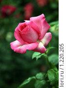 Чайная роза. Стоковое фото, фотограф Александр Мишин / Фотобанк Лори