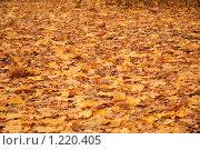 Купить «Опавшие кленовые листья», эксклюзивное фото № 1220405, снято 14 октября 2009 г. (c) Алёшина Оксана / Фотобанк Лори