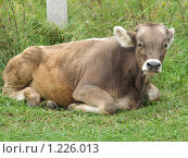Корова, фото № 1226013, снято 20 августа 2009 г. (c) Иван / Фотобанк Лори