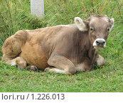 Купить «Корова», фото № 1226013, снято 20 августа 2009 г. (c) Иван / Фотобанк Лори