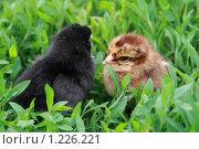 Купить «Два суточных цыплёнка дремлют среди травы», фото № 1226221, снято 9 июня 2008 г. (c) Григорий Писоцкий / Фотобанк Лори
