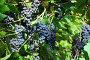 Виноград изабелла, эксклюзивное фото № 1233341, снято 19 сентября 2009 г. (c) Юрий Морозов / Фотобанк Лори