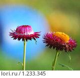 Купить «Цветок бессмертник», эксклюзивное фото № 1233345, снято 3 октября 2009 г. (c) Юрий Морозов / Фотобанк Лори