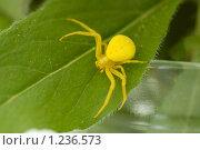 Купить «Желтый паук», фото № 1236573, снято 3 июля 2007 г. (c) Литова Наталья / Фотобанк Лори