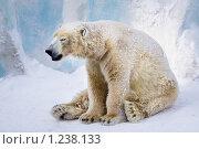 Купить «Усталый полярный медведь», фото № 1238133, снято 7 февраля 2009 г. (c) Петр Кириллов / Фотобанк Лори