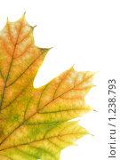 Купить «Осенний кленовый лист на белом фоне», фото № 1238793, снято 3 ноября 2009 г. (c) Наталья Чумак / Фотобанк Лори