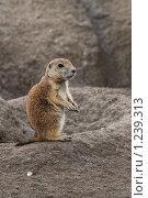 Купить «Маленький суслик», фото № 1239313, снято 25 июля 2009 г. (c) Петр Кириллов / Фотобанк Лори