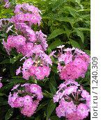Купить «Розовые флоксы», фото № 1240309, снято 19 августа 2009 г. (c) Neta / Фотобанк Лори