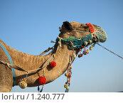 Нарядный верблюд. Стоковое фото, фотограф Зоя Степанова / Фотобанк Лори