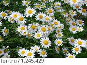 Купить «Садовая ромашка», фото № 1245429, снято 30 июня 2009 г. (c) Анастасия Некрасова / Фотобанк Лори