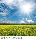 Купить «Солнце над полем с подсолнухами», фото № 1246093, снято 10 августа 2008 г. (c) Михаил Коханчиков / Фотобанк Лори