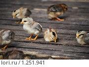 Купить «Цыплята миниатюрной породы отдыхают», фото № 1251941, снято 22 августа 2009 г. (c) Анастасия Некрасова / Фотобанк Лори