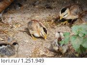 Купить «Цыплята миниатюрной породы», фото № 1251949, снято 22 августа 2009 г. (c) Анастасия Некрасова / Фотобанк Лори