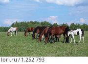 Табун лошадей на пастбище в солнечную погоду. Стоковое фото, фотограф Дамир Фахретдинов / Фотобанк Лори