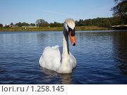 Купить «Лебедь на пруду», фото № 1258145, снято 31 июля 2009 г. (c) Максим Горпенюк / Фотобанк Лори