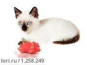 Купить «Сиамский кот», фото № 1258249, снято 18 октября 2009 г. (c) Коваль Василий / Фотобанк Лори