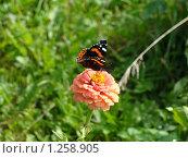 Бабочка адмирал на розовом цветке циннии. Стоковое фото, фотограф Нина Солнцева / Фотобанк Лори