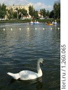 Лебедь плавает в пруду (2009 год). Стоковое фото, фотограф Юлия Зайцева / Фотобанк Лори