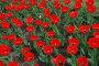 Красные тюльпаны, эксклюзивное фото № 1260897, снято 9 мая 2009 г. (c) lana1501 / Фотобанк Лори