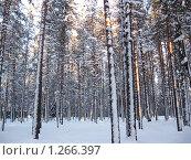 Сосновый бор зимой. Стоковое фото, фотограф Вера Попова / Фотобанк Лори