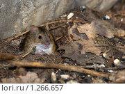 Мышь полевая, Apodemus agrarius, Striped Field Mouse. Стоковое фото, фотограф Василий Вишневский / Фотобанк Лори