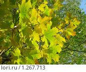 Купить «Кленовые листья на фоне голубого неба», эксклюзивное фото № 1267713, снято 26 сентября 2009 г. (c) lana1501 / Фотобанк Лори