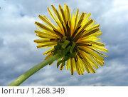 Купить «Одуванчик», эксклюзивное фото № 1268349, снято 20 мая 2009 г. (c) lana1501 / Фотобанк Лори