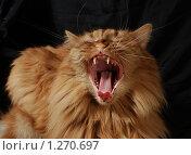 Купить «Зевающий рыжий кот», фото № 1270697, снято 6 декабря 2009 г. (c) Лиза Заретская / Фотобанк Лори