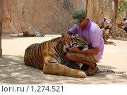 Ручной тигр (2009 год). Редакционное фото, фотограф Иванка Иванка / Фотобанк Лори