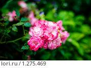 Купить «Дикие кустовые розы», фото № 1275469, снято 5 августа 2009 г. (c) Филонова Ольга / Фотобанк Лори