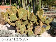 Купить «Опунция микродазис (opuntia microdasis)», фото № 1275837, снято 28 ноября 2009 г. (c) Наталья Волкова / Фотобанк Лори