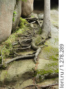 Купить «Корни на камнях», фото № 1278289, снято 21 июня 2009 г. (c) Ольга Остроухова / Фотобанк Лори